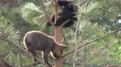 Black Bear Young Pair Summer Cubs Black Brown Color Phase Stock Footage