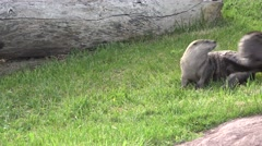 River Otter Adult Pair Playing Summer Running Chasing Wrestling Stock Footage