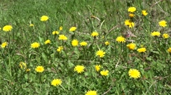 Hawkmoth Adult Lone Feeding Summer Pollination - stock footage