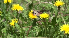 Hawkmoth Adult Lone Feeding Summer Pollinator Stock Footage