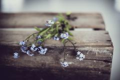 Norway, Forget-me-not flowers on old wooden box - stock photo