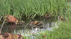 Mallard Hen Adult Chicks Family Feeding Summer - stock footage