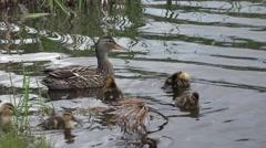 Mallard Hen Adult Chicks Family Swimming Summer Stock Footage