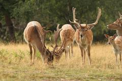 males fallow deer herd ( dama ) standing  in a clearing - stock photo