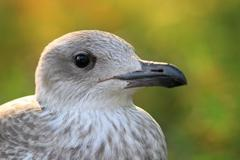 juvenile herring gull ( larus argentatus ) head, portrait over green out of f - stock photo