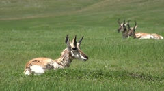 Pronghorn Antelope Buck Adult Several Resting Summer Green Grass Stock Footage