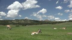 Pronghorn Antelope Buck Adult Herd Resting Summer Stock Footage