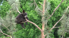 Black Bear Cub Pair Climbing Summer Brown Black Color Phase - stock footage
