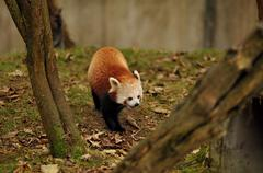 Red Panda walking on  leaf covered grass Stock Photos