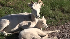 Dall Sheep Ewe Adult Young Pair Resting Summer Stock Footage