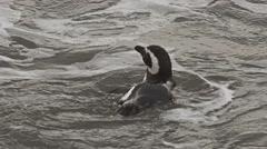 Magellan pinguin having a bath Stock Footage