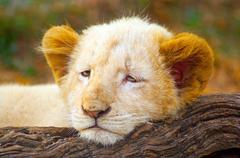 Picture of White Lion Cub (Panthera leo krugeri) lying on tree trunk Kuvituskuvat