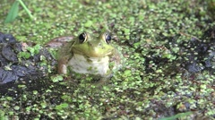 Bullfrog Adult Lone Summer Stock Footage