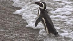Magellan pinguin Stock Footage