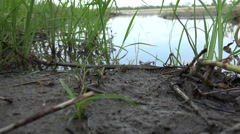 Northern Cricket Frog Male Adult Lone Summer Shore Mudflat Backwater Stock Footage
