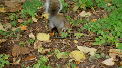 Squirrel Cute Adorable Animal Park Sniffing Nervous Hungry Snack Staring - stock footage