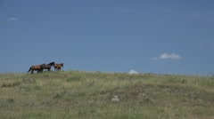 Horse Adult Several Summer Ranching American West Horses - stock footage