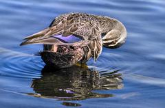 Mallard duck in river Stock Photos