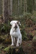 UK, England, West Midlands, Stoke-on-Trent, Hanchurch Woods, White Bulldog - stock photo