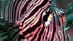 Close shot of lion fish head, red sea Stock Footage