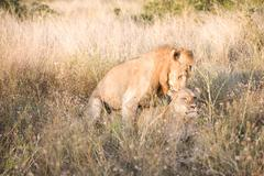 Lion and lioness mating in long grass Stock Photos