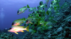 Shoal of colorful tropic fish over coral reef, low angle, red sea Stock Footage
