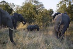 Elephants (Loxodonta africana) in bush - stock photo