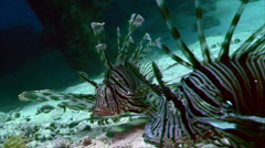 Two lionfish swimming over sandy bottom, red sea Stock Footage