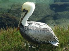 USA, Florida, St. Johns County, St. Augustine, Brown Pelican sitting in grass Stock Photos