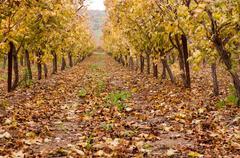 Israel, Rosh Pina, HaGalil, Autumn in vineyard Stock Photos