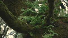 Ferns in the trunk of the old oak Stock Footage