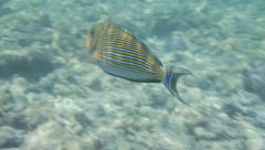 Maldives Snorkelling Blue lined Surgeonfish in clear waters of a coral reef Stock Footage
