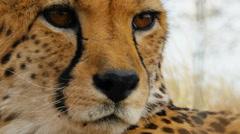 Cheetah close up Stock Footage