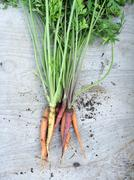 USA, Ohio, Hamilton County, Cincinnati, Carrot harvest Kuvituskuvat
