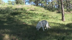 P03938 White Wolf in Forest Clearing Eating Meat Stock Footage