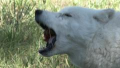 White Wolf Gnawing on Bone and Meat Stock Footage