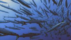 Big school of mediterranean barracudas Stock Footage