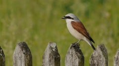 Red-backed shrike takes off, flies away from a wooden fence Stock Footage