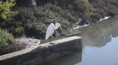 Great Egret hunting for fish at water's edge Stock Footage