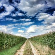 France, Deux Sevres, Single line dirt road among corn fields Stock Photos