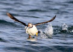 Iceland, Puffin with fish in beak Stock Photos