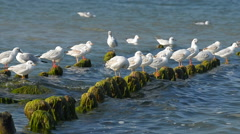 Gulls preen their feathers on the breakwater Stock Footage