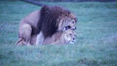 Lions mating while growling at each other Stock Footage