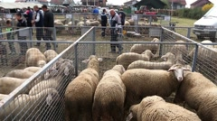 Different kinds of sheep in Pens On A Livestock Market Stock Footage