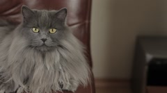 Cute young siberian cat lying on a leather sofa. Close-up. Stock Footage