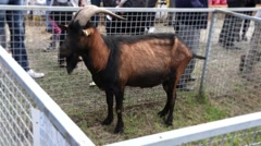 Goat With Beautiful Big Horns Stock Footage