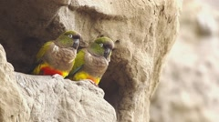 Burrowing parrot pair Stock Footage