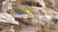 Burrowing parrots Stock Footage