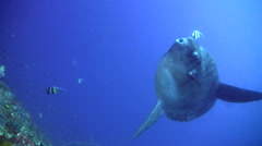 Oceanic sunfish (mola-mola) being cleaned by bannerfish Stock Footage
