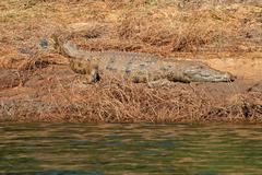 Nile crocodile basking on muddy river bank - stock photo